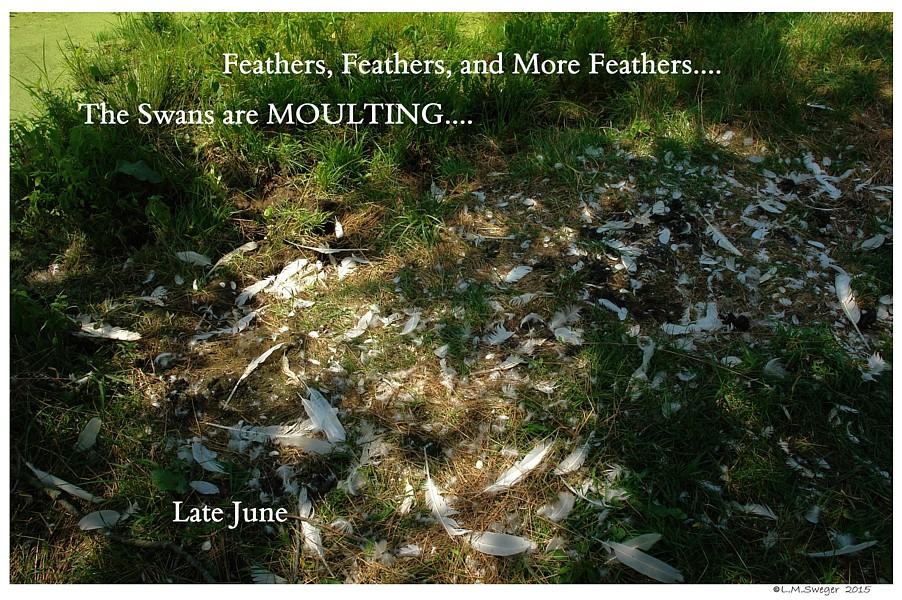 Mute Swan Moulting Preening Area