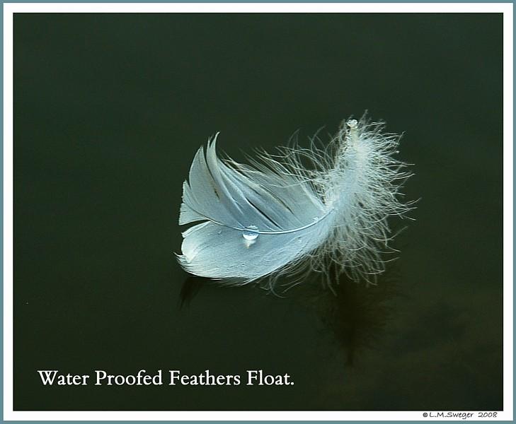 Mute Swans Mount Feather Waterproofing