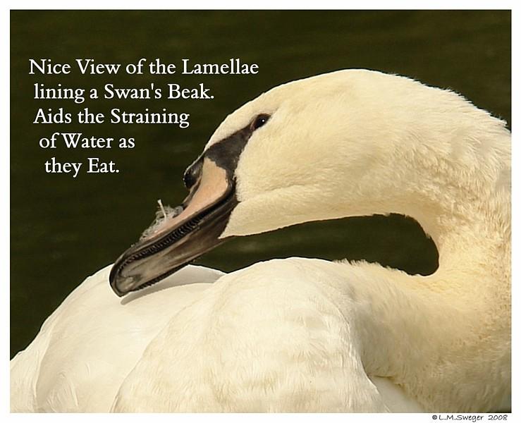 Mute Swan Lamellae