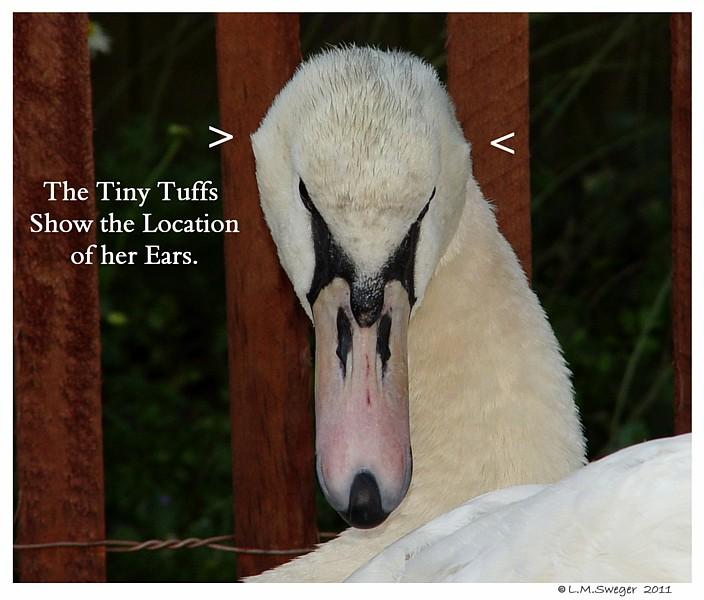 Mute Swan Ears