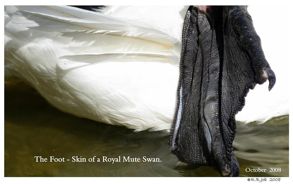 Mute Swan Web Foot