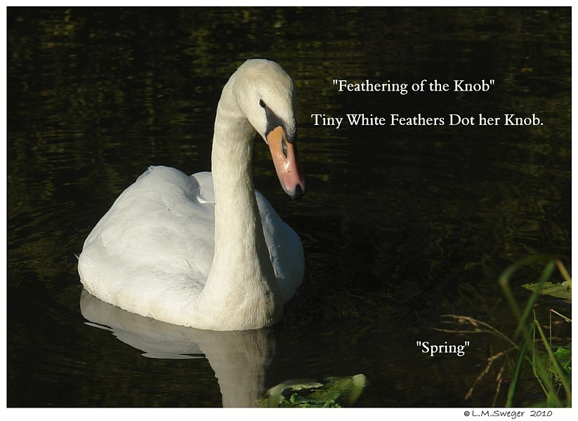 Swan Anatomy