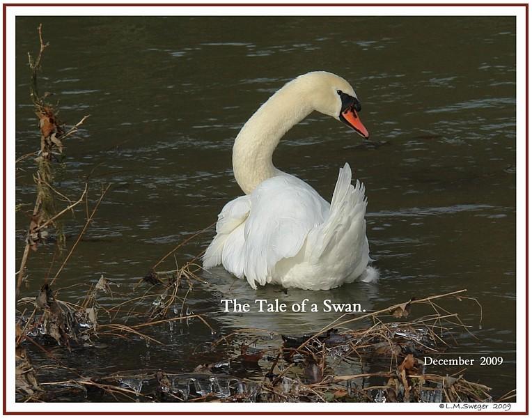 Mute Swan Tale