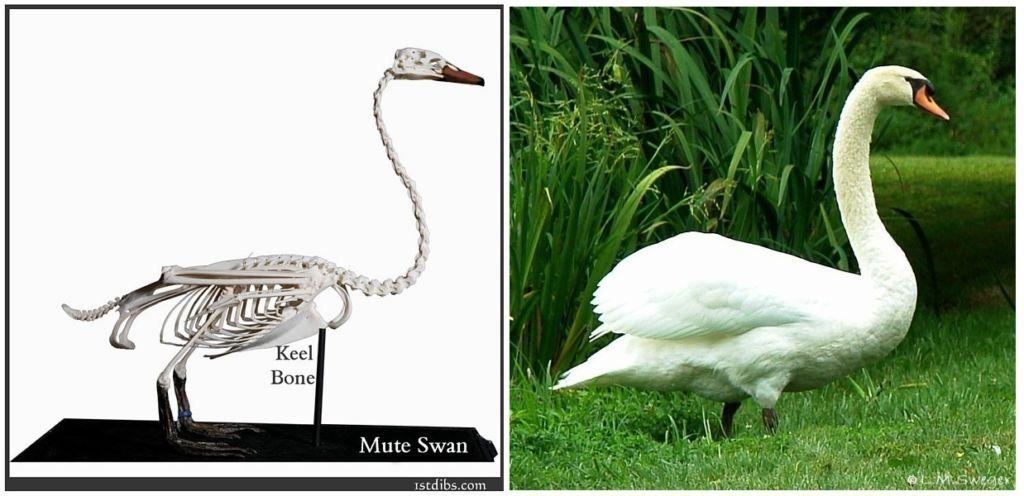 Mute Swan Anatomy