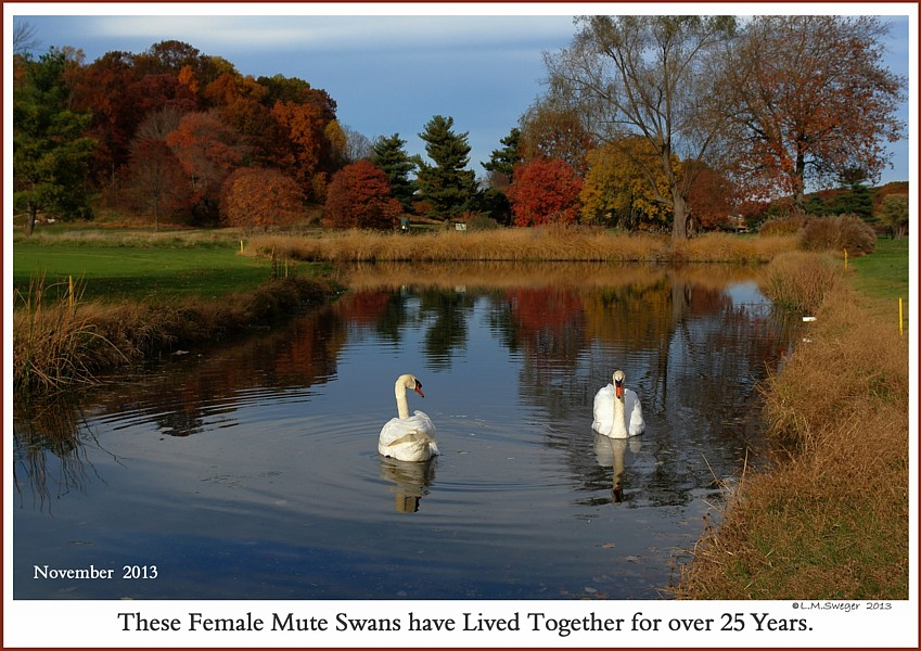 Same Sex Female Swans