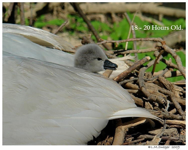 Royal Mute Swan Cygnet