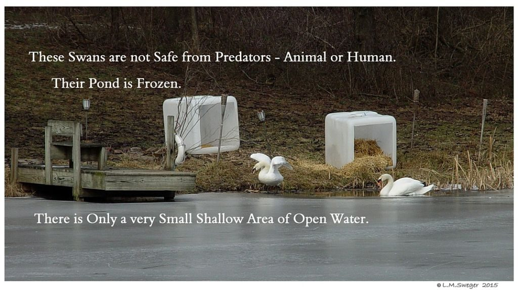 Swan Need Open Water