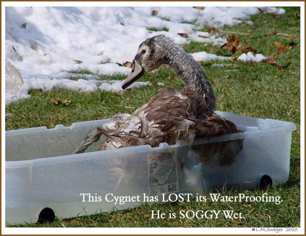 Swan Problems