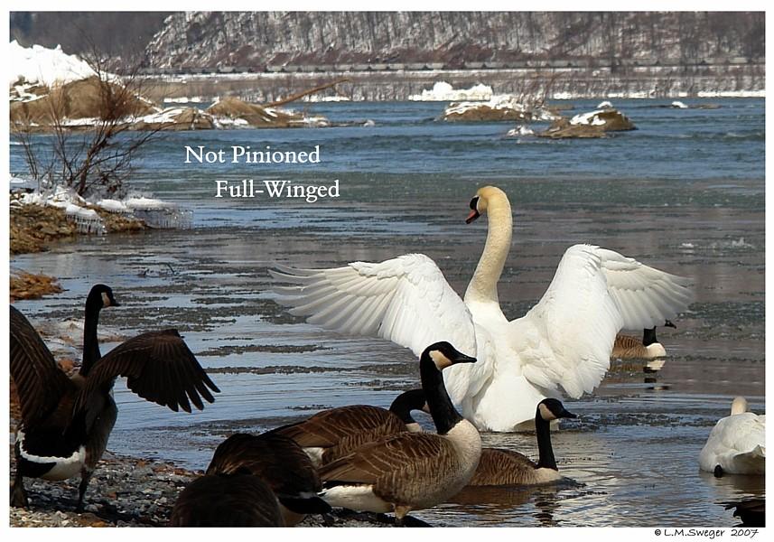 Mute Swan Full Wing