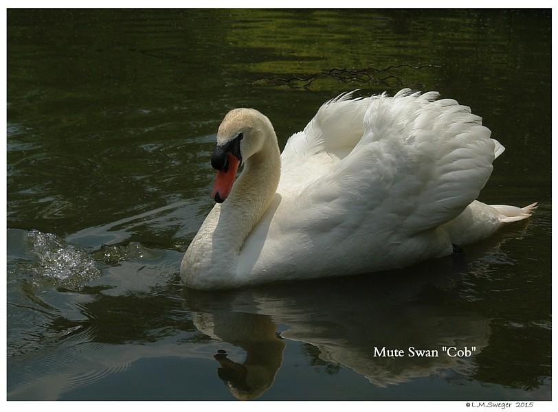 Royal Mute Swan