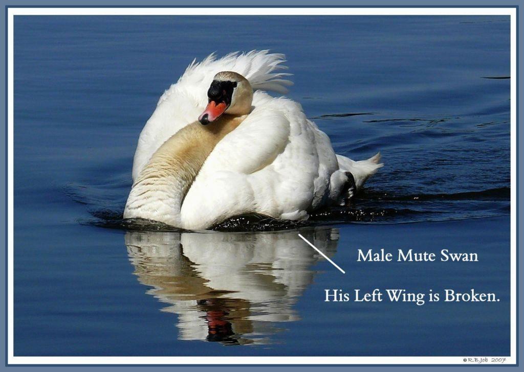 Swan Broken Wing