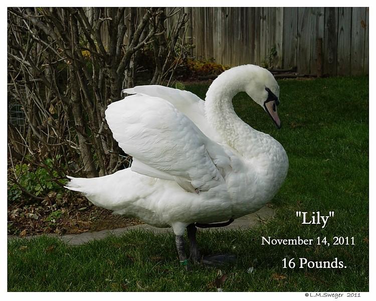 Swan Good Diet