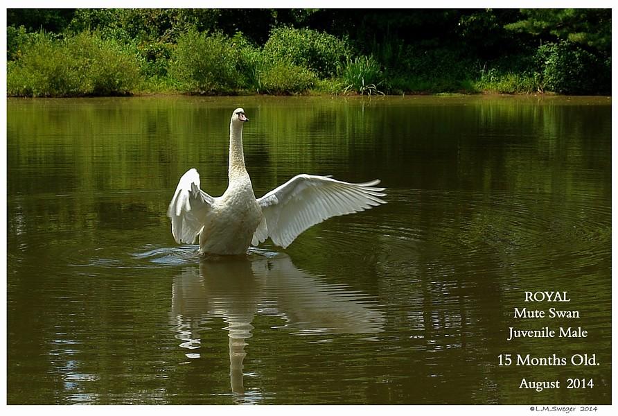 Royal Mute Swan Cygnet