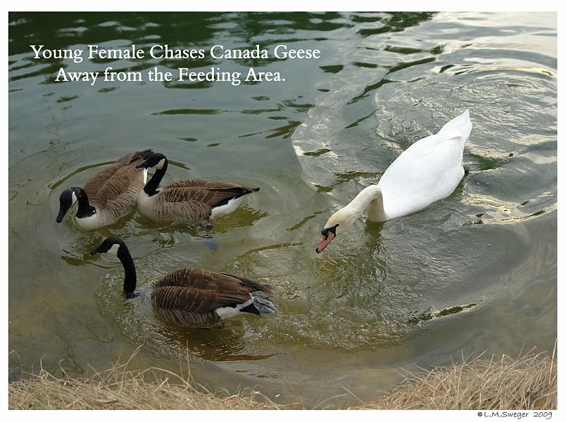 Swan Canada Geese