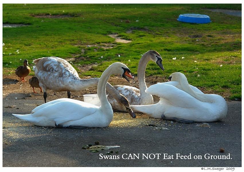 Feeding Swan