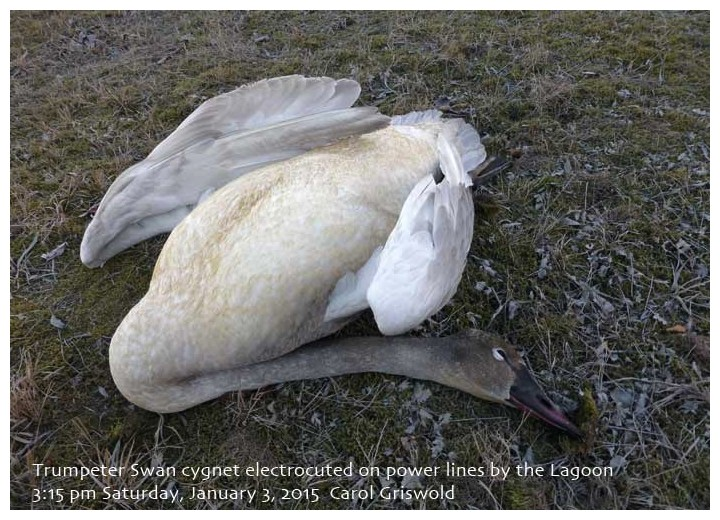 Electrocuted Trumpeter Cygnet
