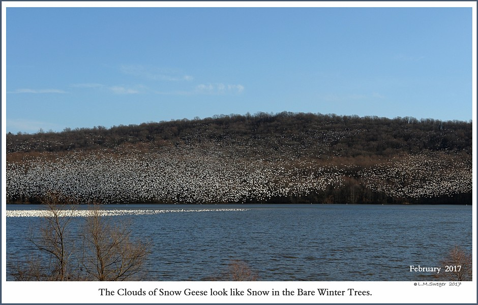 Middle Creek Snow Geese