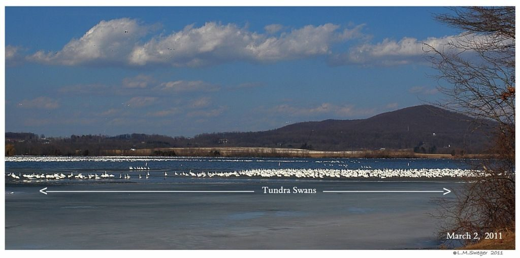 Tundra Swans Middle Creek