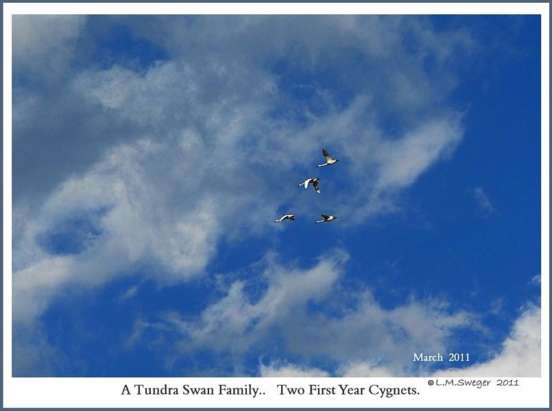 Tundra Swan Family