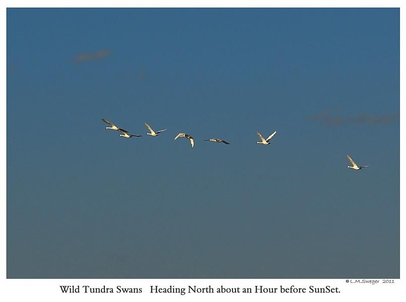Migrating Tundra Swans