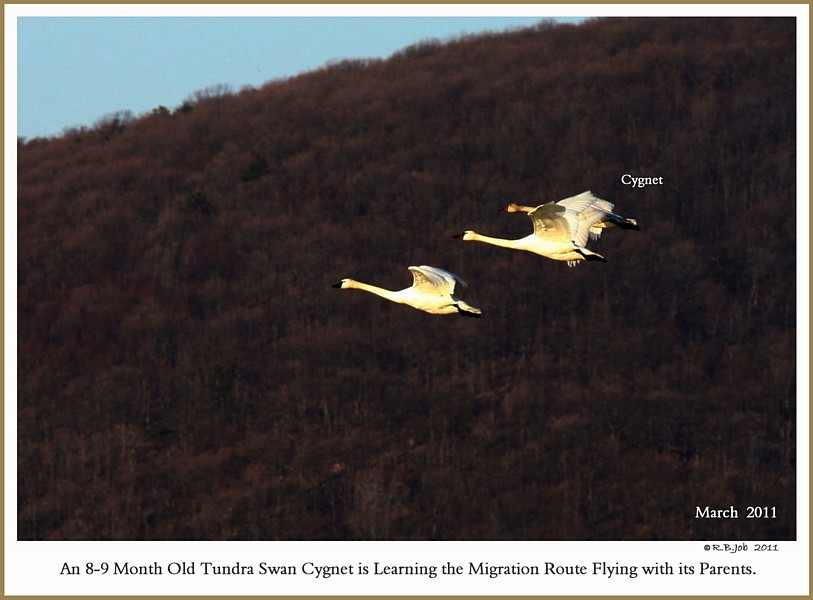 Migrating Tundra Swans