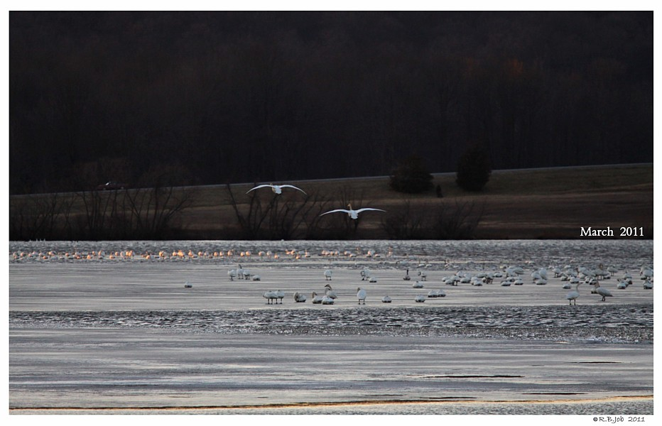 Middle Creek Tundra Swans