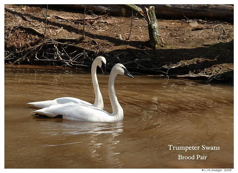 Trumpeters Swans