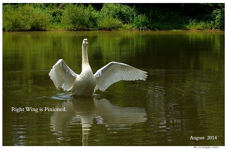Pinion Mute Swan