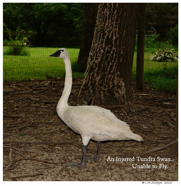 Injured Tundra Swan