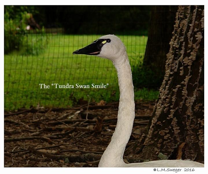 Tundra Swan Smile