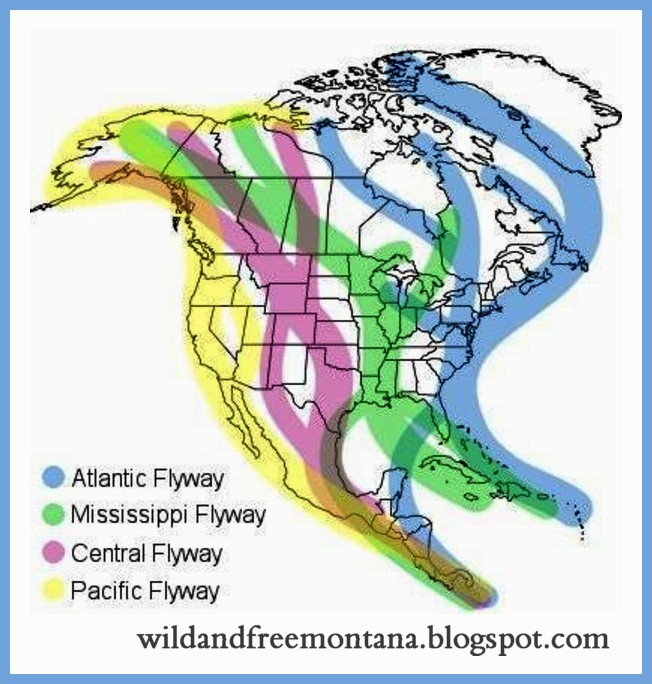 TUNDRA SWAN N America-Migration-Flyways MAP