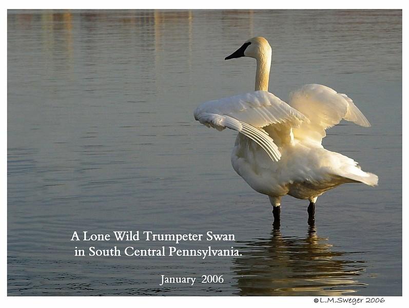Wild Trumpeter Swan