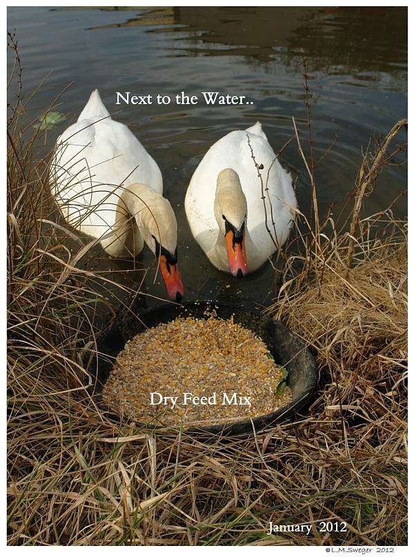 Feeding Mute Swans