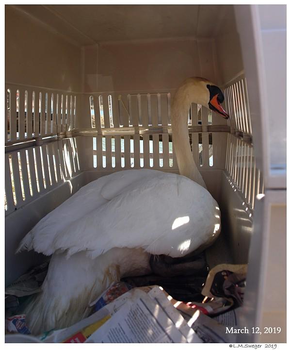 Transporting Swans