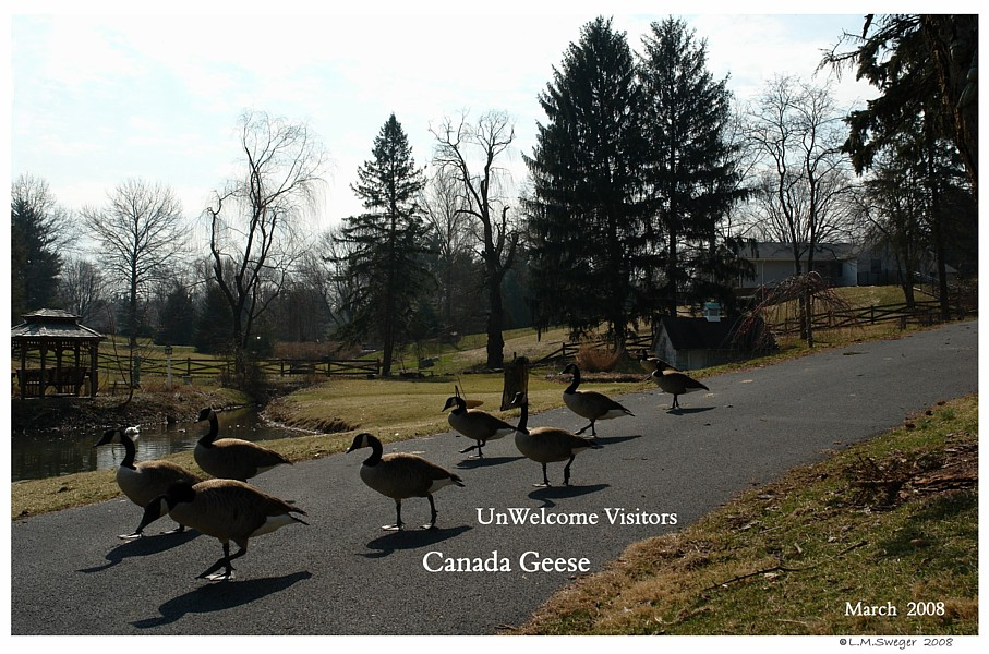 Canada Geese Control