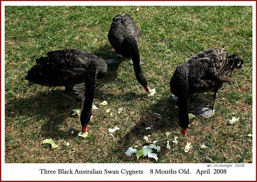 Black Australian Swan Cygnets