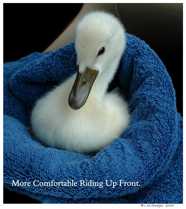 Transporting Rescued Cygnet