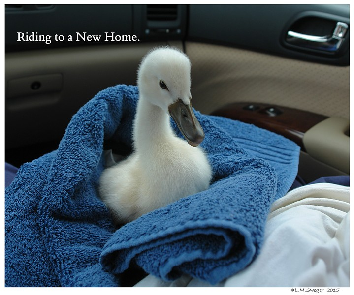 Transporting Cygnet