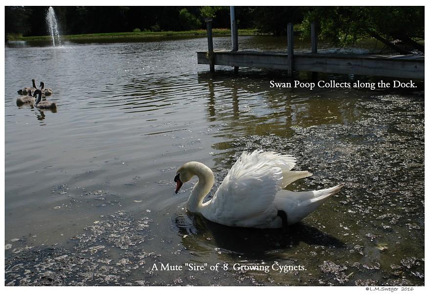 Swan Pond Poop