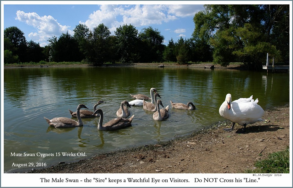 Mute Swan Family