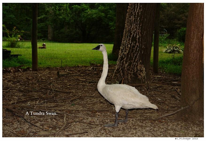 Injured Tundra Swan