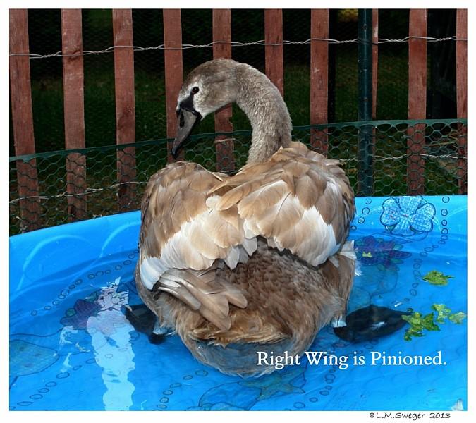 Pinioned Mute Swan Cygnet