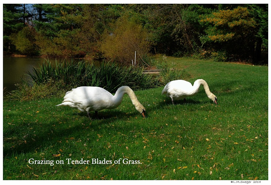 Swans Grass Grazing