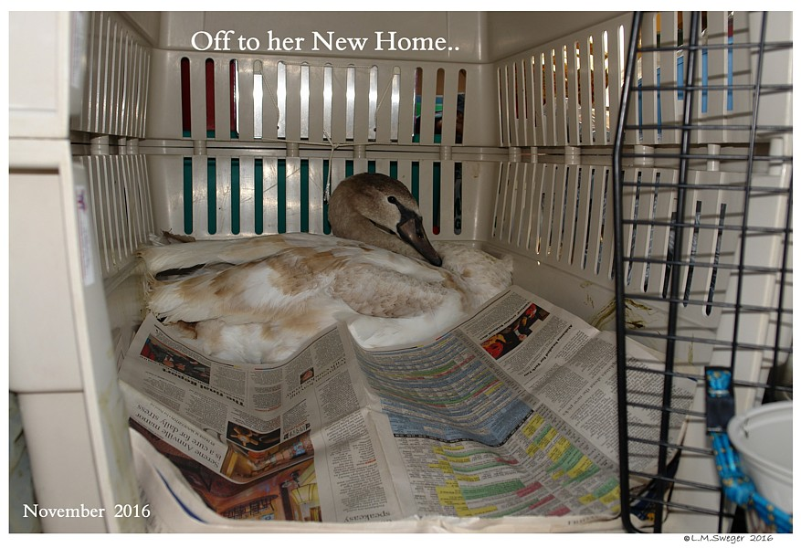 Cygnet New Home