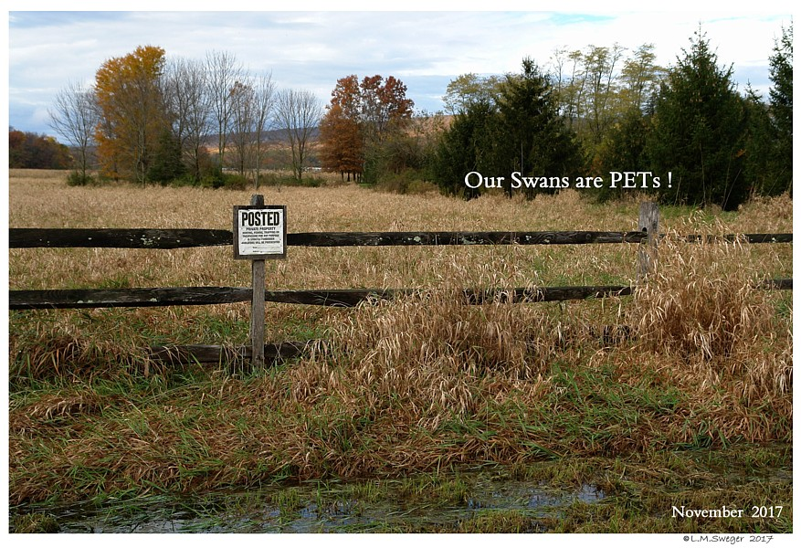 NO Pet Swan Hunting