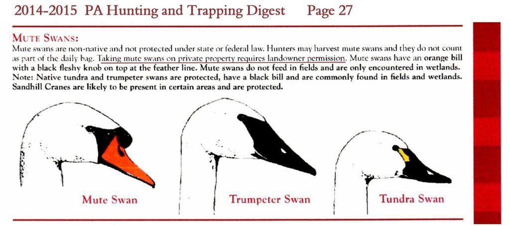 PA Mute Swans