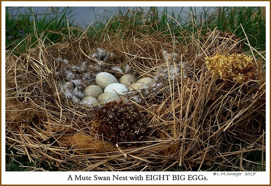 Mute Swan Nest Eggs