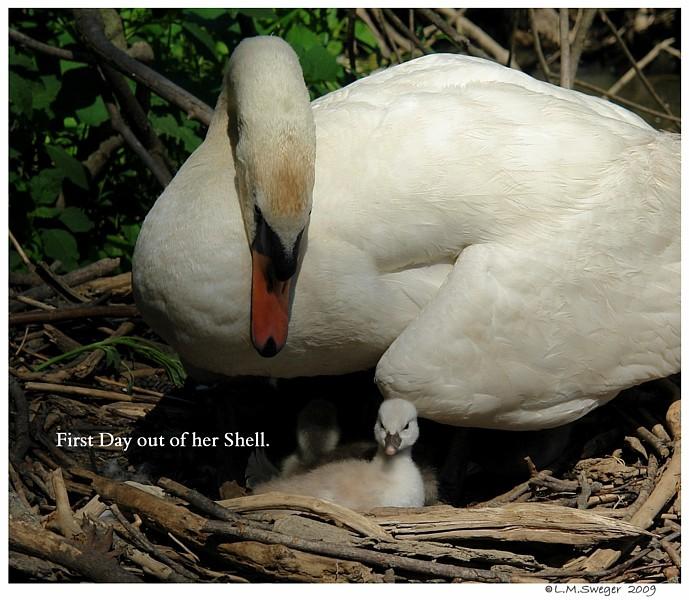 Nesting Mute Swan Cygnets