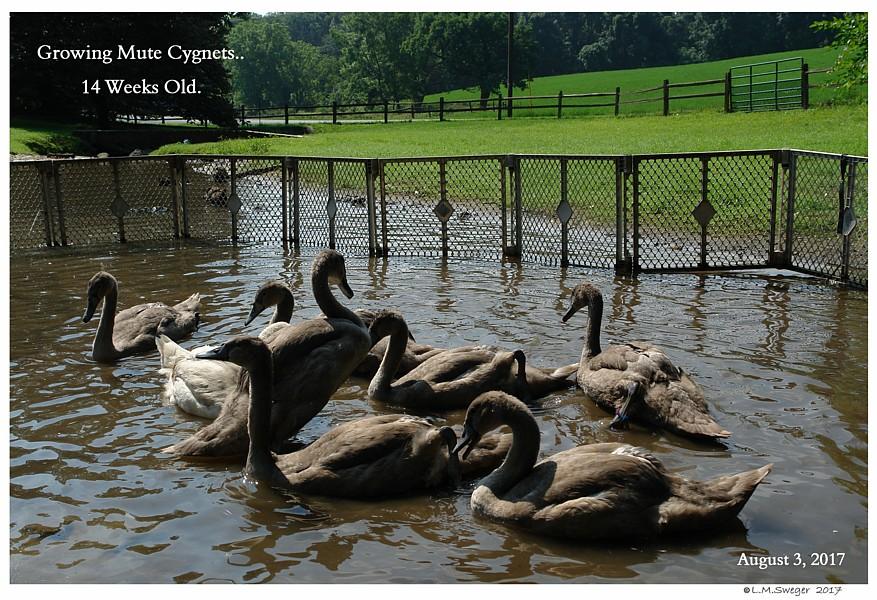 Mute Swan Cygnets