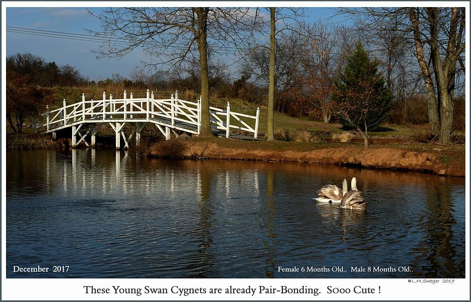 Mute Swan Cygnets Pair-Bonding